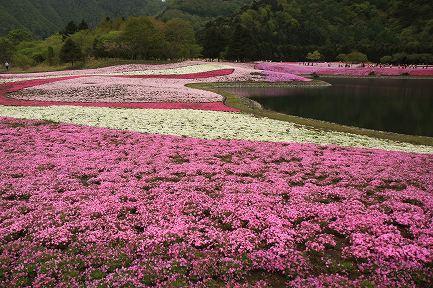 富士芝桜-5