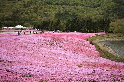 富士芝桜-6
