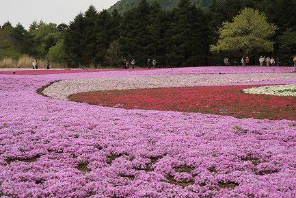 富士芝桜-7