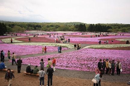 富士芝桜-8