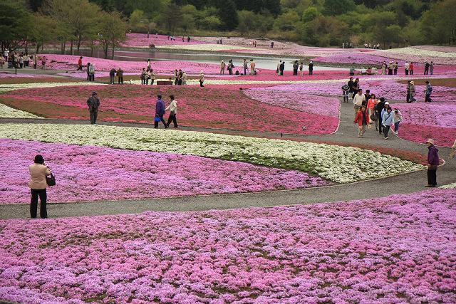 富士芝桜-9