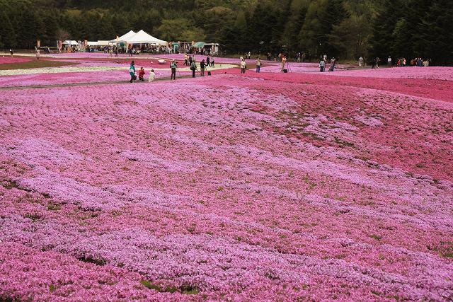 富士芝桜-10