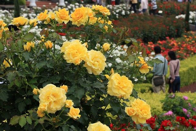 バラの花-1