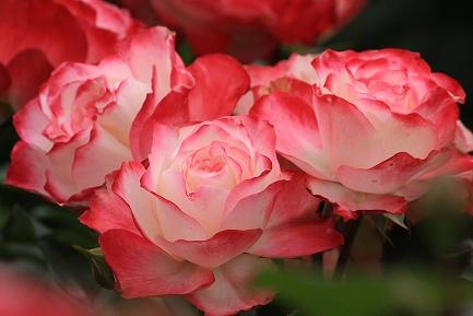 バラの花-2