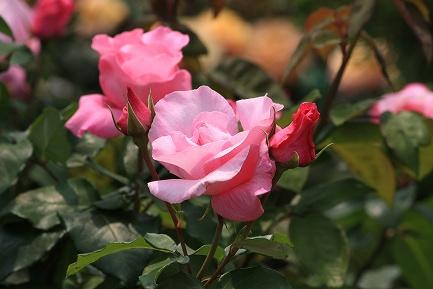 バラの花-7