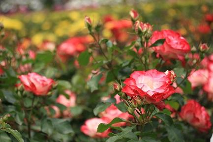 バラの花-9