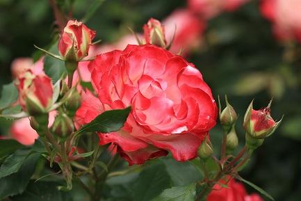 バラの花-10