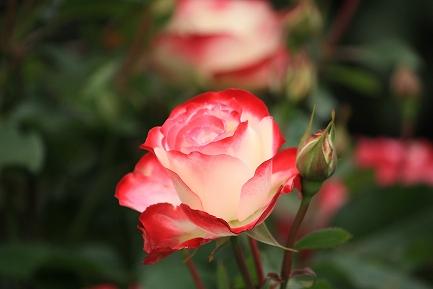 バラの花-11
