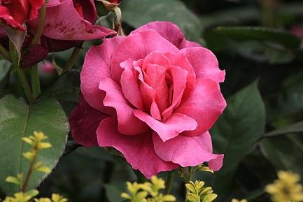 バラの花-12