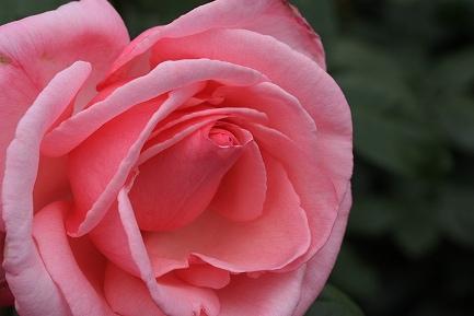 バラの花-14