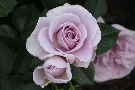 バラの花-16