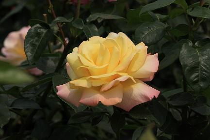 バラの花-21