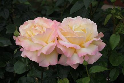 バラの花-17