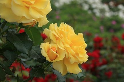 バラの花-23