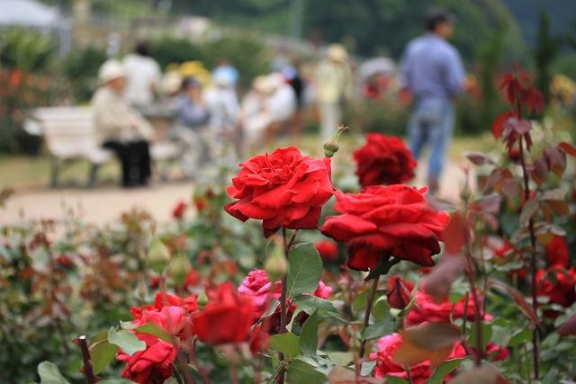 バラの花-24