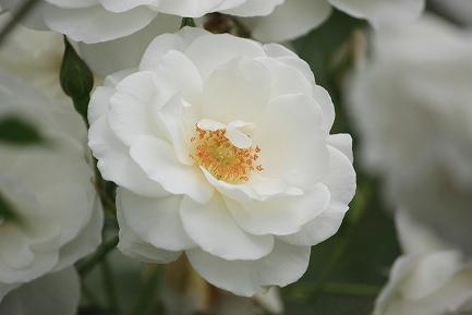 バラの花-19