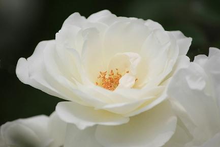 バラの花-20