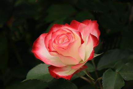 バラの花-5