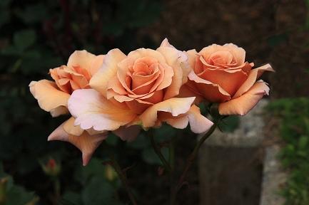 バラの花-18