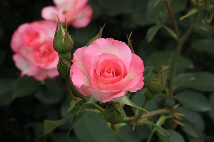 バラの花-6