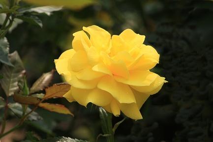バラの花-22