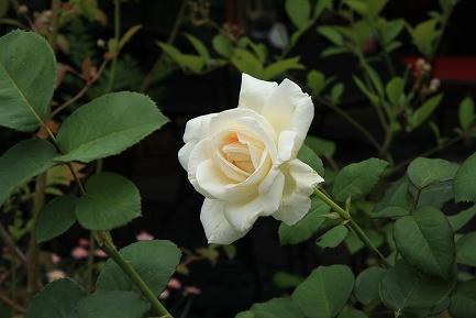 きれいな花-6