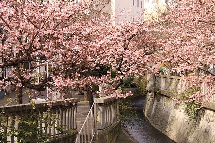 熱海桜-1