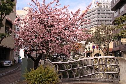 熱海桜-3
