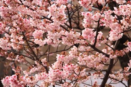 熱海桜-5