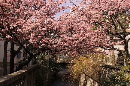 熱海桜-4