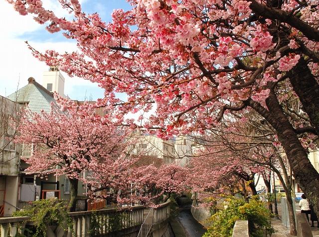 熱海桜-6