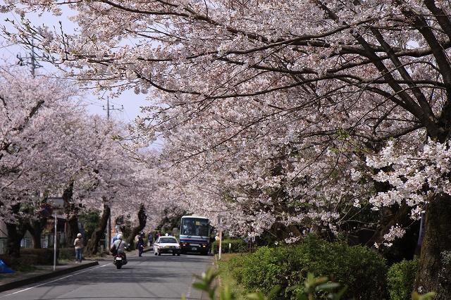 桜の花-1
