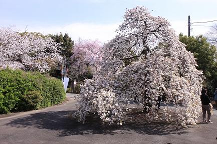 桜の花-3