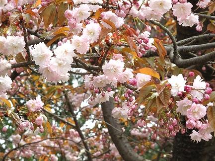 桜の花-4
