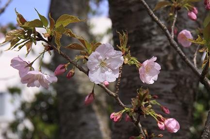 桜の花-5