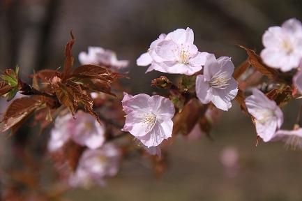 桜の花-6