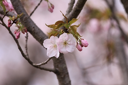 桜の花-7