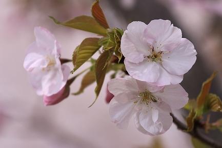 桜の花-8