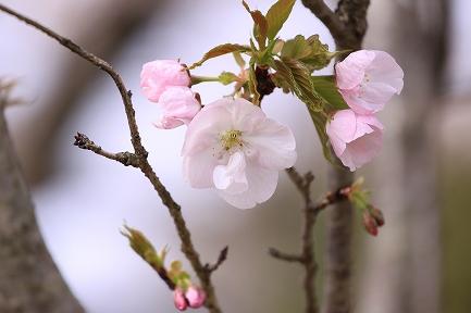 桜の花-9