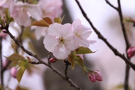 桜の花-10