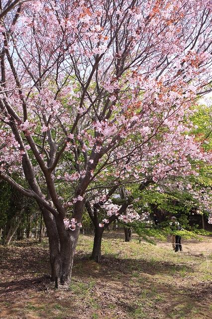 桜の花-11