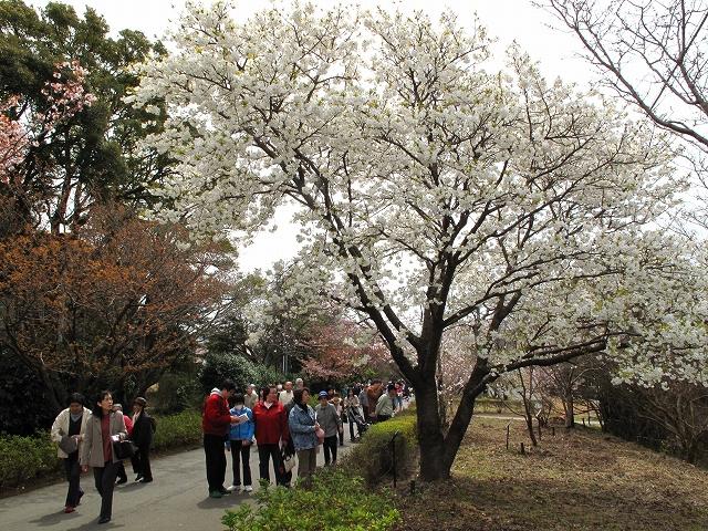 桜の花-13