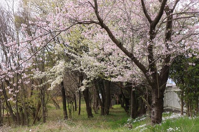 桜の花-14