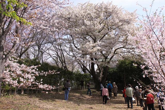 桜の花-12