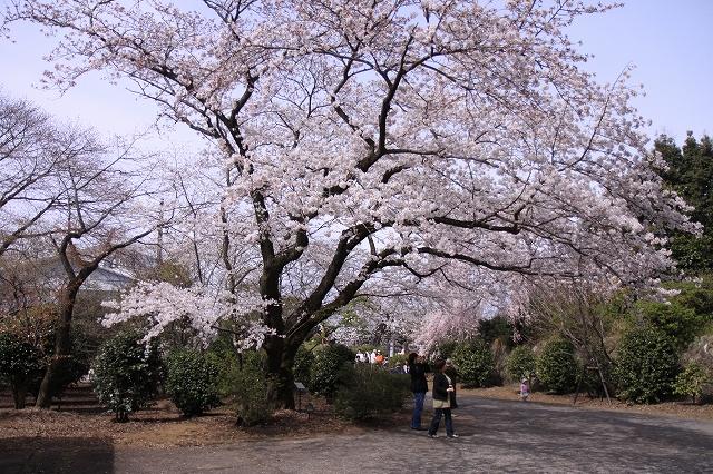 桜の花-15