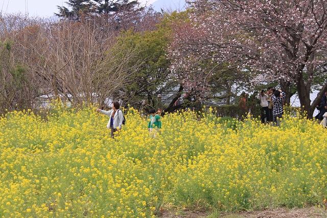 桜の花-16
