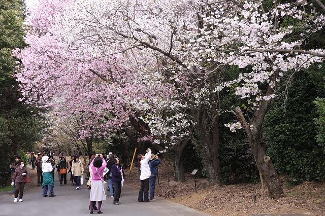 桜の花-17