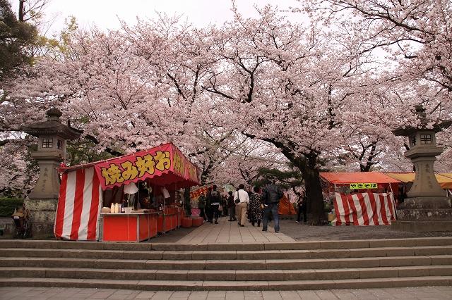 三島大社の桜-1