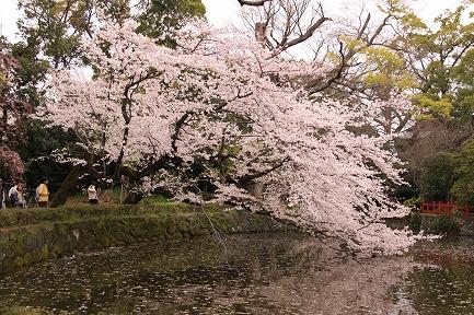 三島大社の桜-2
