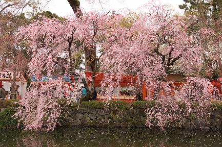 三島大社の桜-3